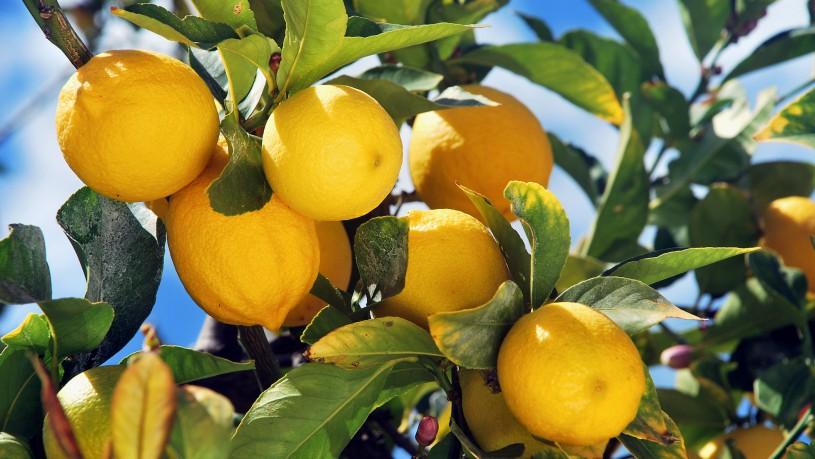 L'eccellenza degli agrumi di Mattinata, un tesoro nascosto